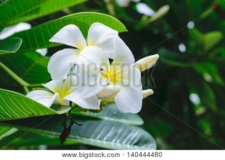 White plumeria on the plumeria tree.close up flower
