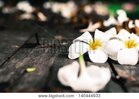 Tropical flowers white Plumeria on wood background