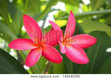 Bunch of pink frangipani plumeria flowers background.