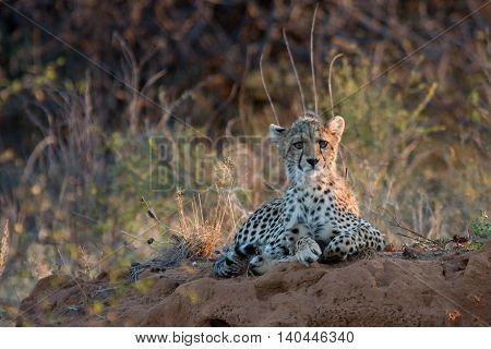 Cheetah baby at sunset lying on the African savannah looking sadly into the distance Kenya