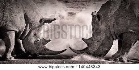 fight a confrontation between two white rhino in the African savannah on the lake Nakuru Kenya