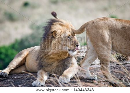 lion in the savanna looking at a passing lioness and renders it favors sticking his tongue kenya