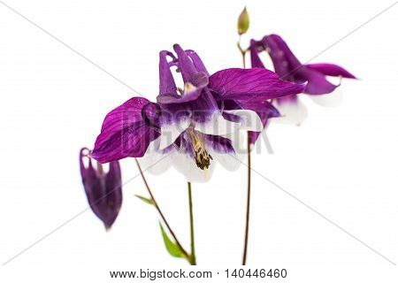 aquilegia purple flower isolated on white background
