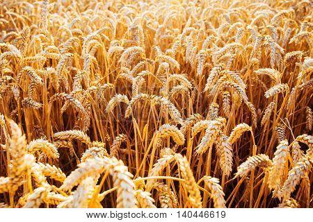 Wheat Field. Ears Of Golden Wheat Closeup. Rich Harvest Concept