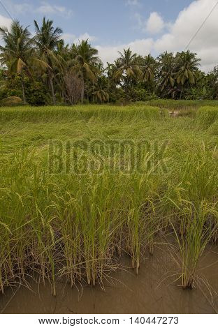 Rice Fields Paddy Fields Landscapes Showing Irrigation Channels And Aqueducts Used For Water Transpo