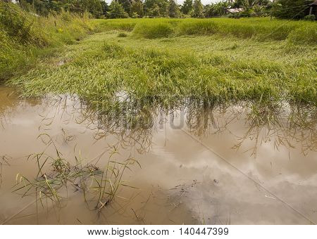 Rice Field Showing Damage After Heavy Tropical Storms During Rainy Season.
