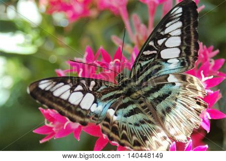 large blue clipper butterfly on resting on flowers