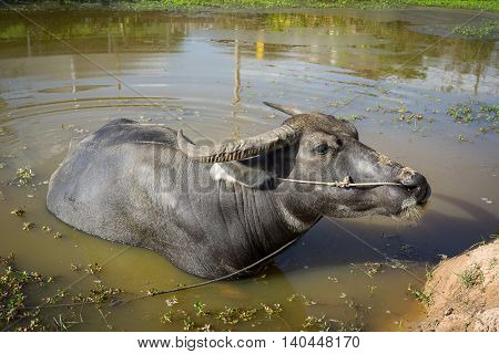 A buffalo playing the water in thai country