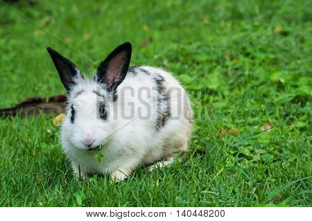 The lovely white rabbit have black ears enjoy to eat the grass
