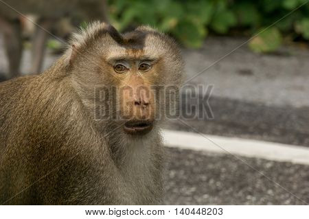 Close up the face ofcrab-eating macaque. It is the header.