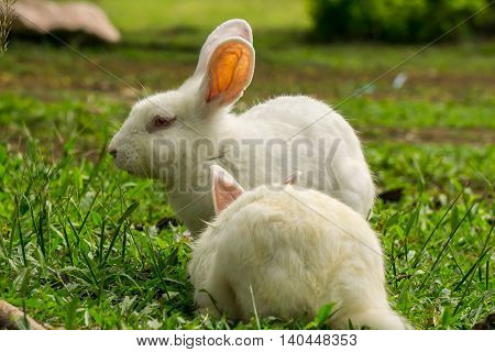 The lovely rabbits eating the grass in the meadow