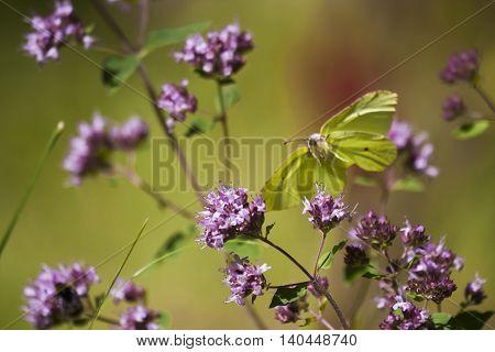 a brimstone butterfly flying amongst purple flowers