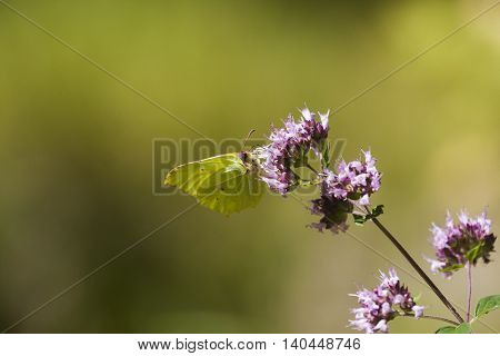 a brimstone butterfly pollinating a purple flower