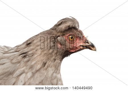 Closeup Gray Chicken Head Curious Looks Isolated on White Background in Profile view