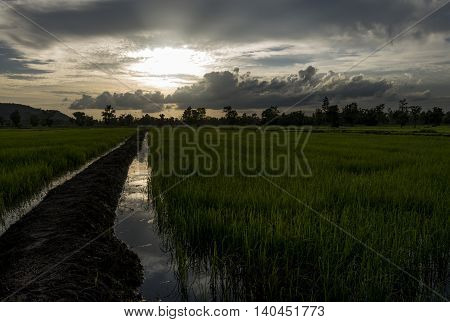Rice Field Showing Dramatic Weather Conditions And Cloud Formations During  Tropical Storms.
