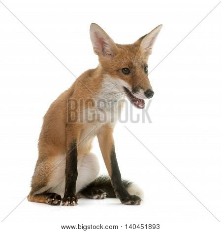 red fox in front of white background