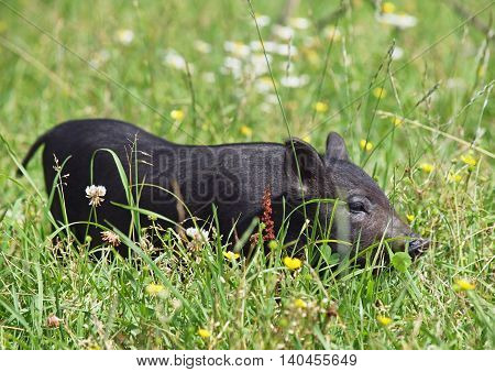 Black mini pig of the Vietnamese breed in grass