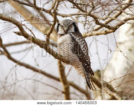 Northern Hawk Owl (Surnia ulula) resting in a tree in its habitat