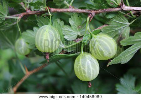Gooseberry, reject, European (Ribes uva-crispa) with berries