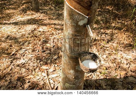 latex rubber natural plantations on nature background
