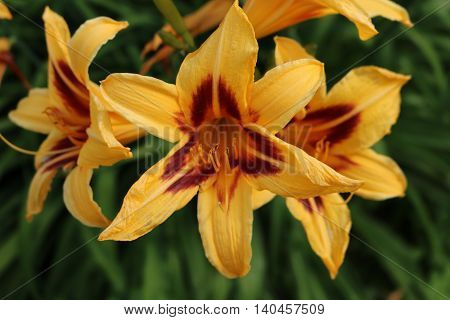 Lily - plants perennial grasses, bulbs equipped with a large bright fragrant flowers