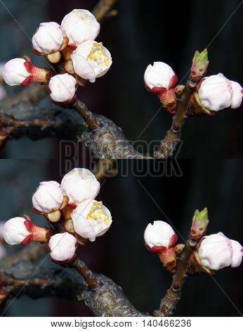 The repeating drawing. Pattern. Fruit-tree flower. Gentle petals