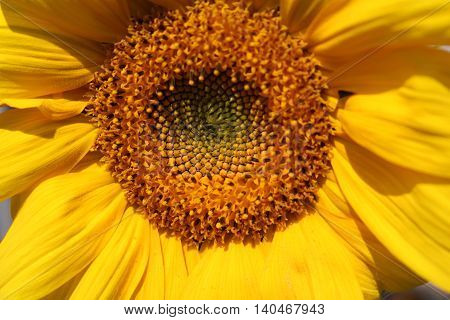 Helianthus annuus, or masliichny (Helianthus annuus) - herbaceous plants akin to astra