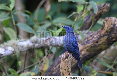 Blue bird, Blue Rock Thrush (Monticola solitarius) standing on the log