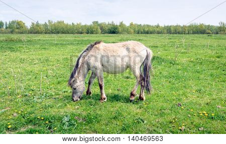 Konik mare grazing in fresh green grassland with some yellow flowering dandelions. It's springtime now.