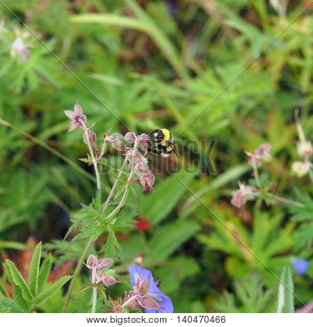 A bee collects nectar from the flowers of geranium meadow (Yakutia)