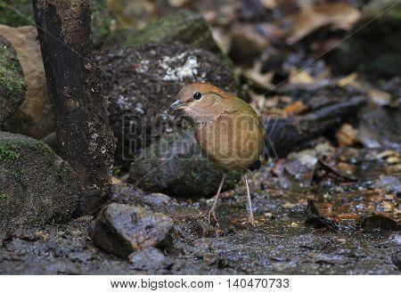 Beautiful bird. Rusty-naped Pitta in nature of Thailand