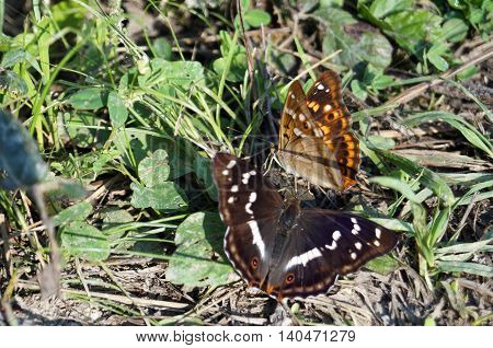 Two butterflies with orange and black wings with a picture sitting on the ground in a green grass