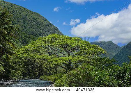 Monkey Pod Tree by the Waipio River in a tropical rainforest in the Waipio Valley Big Island Hawaii