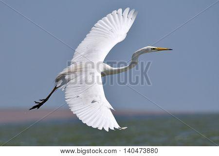 big white egret flying (ardea alba)