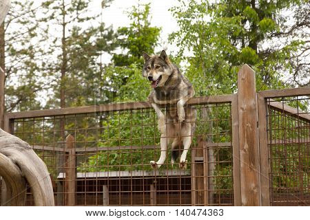 Husky farm. Dog sitting on the fence. Finland