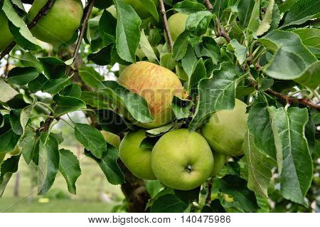 Outdoor Shot Of Immature Green Apples On Tree