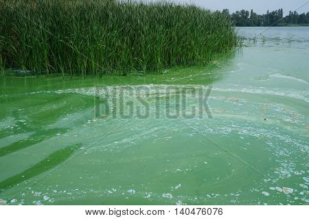 Algae polluted river water with green reeds.