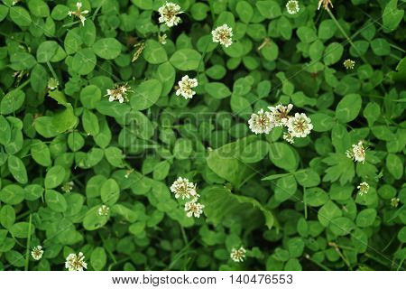 white clover on the meadow in summer day, shallow depth of field