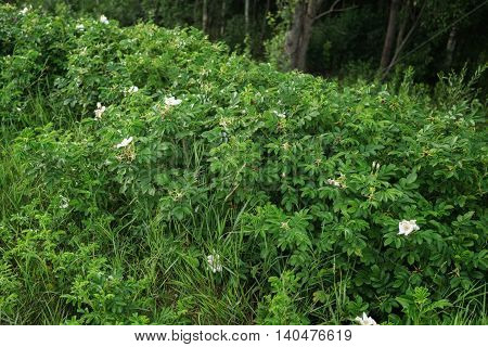 wild white briar bush with flowers, summertime