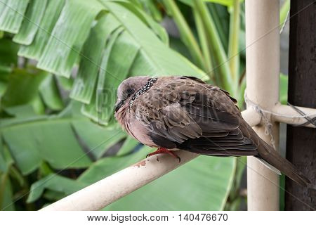 Spotted Turtle Dove Sitting On Balcony
