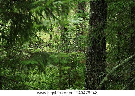 wet green summer forest of karelia, after rain
