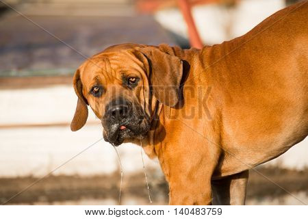 Boerboel Dog Drinking Water