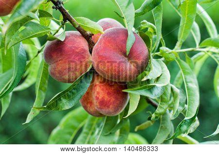 Four peaches on a branch- lush foliage