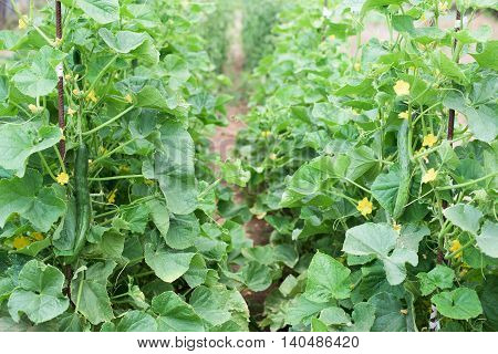 Two lines cucumber plants with vegetables and blossoms