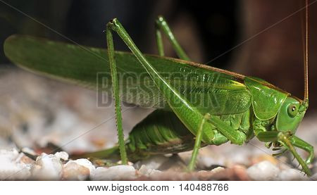 Great Green Bush-Cricket (tettigonia viridissima)  Green Cricket Grasshopper