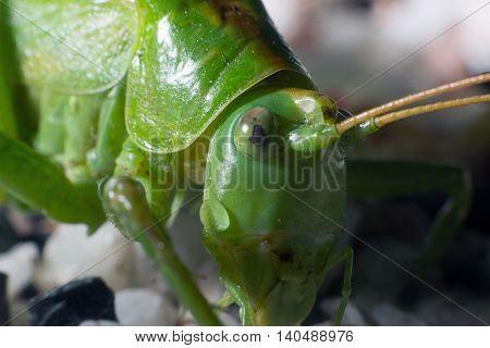Great Green Bush-Cricket (tettigonia viridissima)  Green Cricket Grasshopper