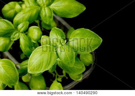 Young green basil plant on black background blank space for text