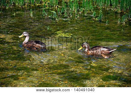 Two female Mallard ducks on the River Coln Bibury Cotswolds Gloucestershire England UK Western Europe.