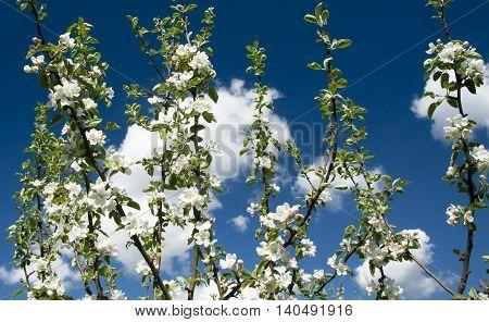 Apple blossom on sky background garden on spring