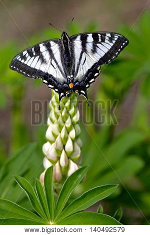 Pale Swallowtail Butterfly feeding nectar on lupine flower